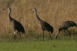 three-mississippi-sandhall-crane-flock-together-in-the-gras_w725_h483