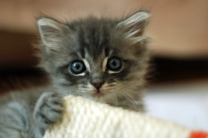 Cute_grey_kitten